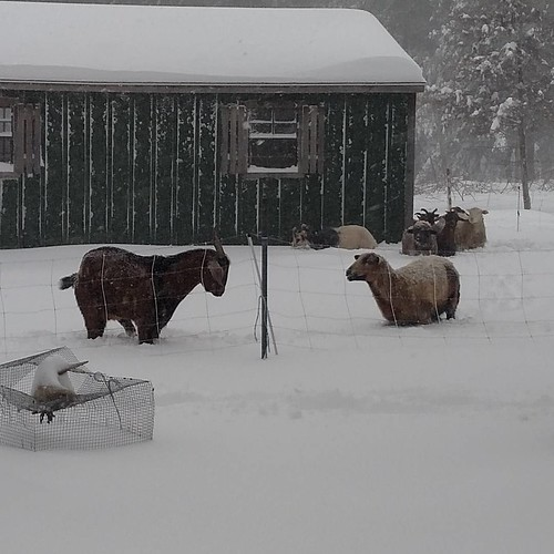 A tall bay goat with spots stands in snow just below his elbows. A golden sheep with black trim is nearby, the snow up to her chest. In the background a small black and white goat stands with snow halfway up his sides. Just behind him a group of sheep stands in a spot that's been trampled down.
