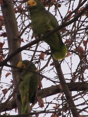 The Parrots of Bad Cannstatt