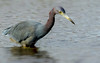 (EXPLORE) Little Blue Heron (Egretta caerulea) - San Diego, CA by bcbirdergirl