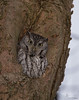 Eastern Screech Owl, Grey-morph