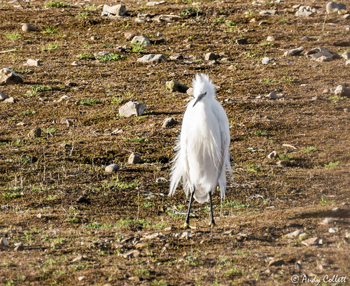 Little Egret 5