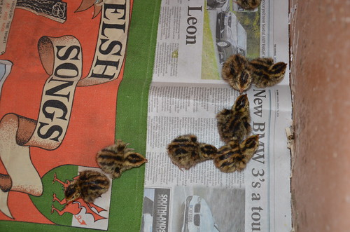 quail chicks Feb 16 (1)
