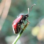cinóber mezeipoloska - Deraeocoris rutilus