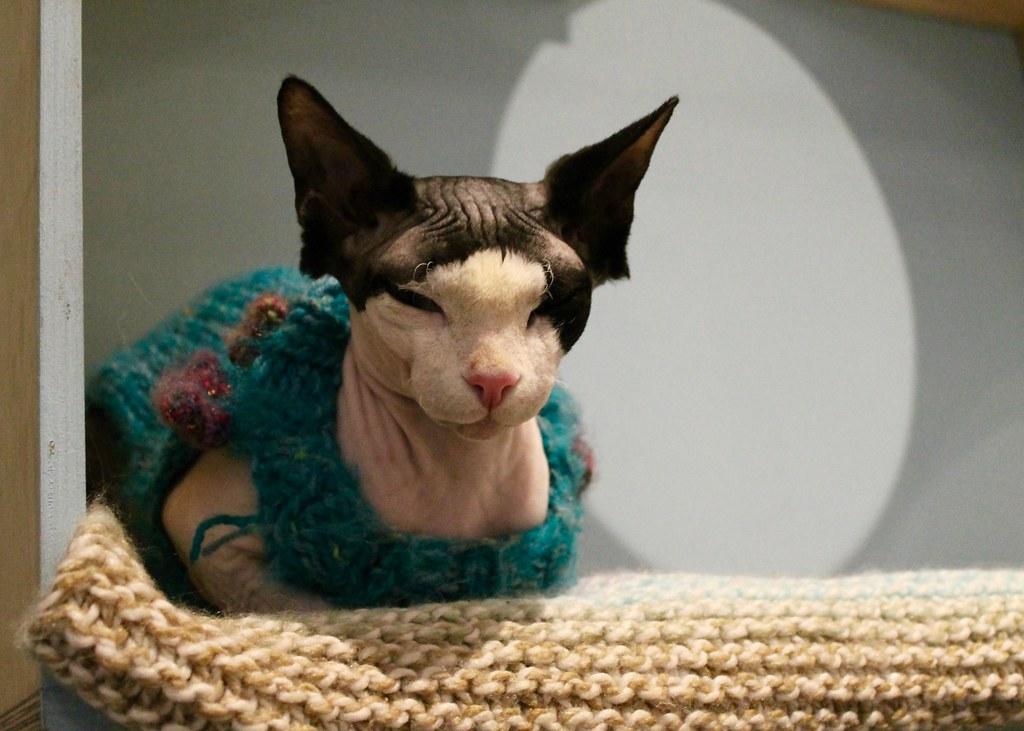 Spyhnx Kitten