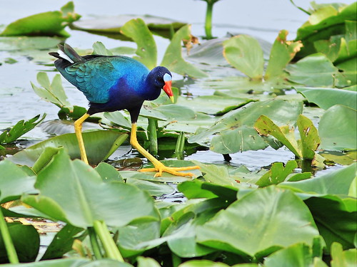 Purple Gallinule 07-20160221