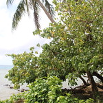 Thespesia populnea tree