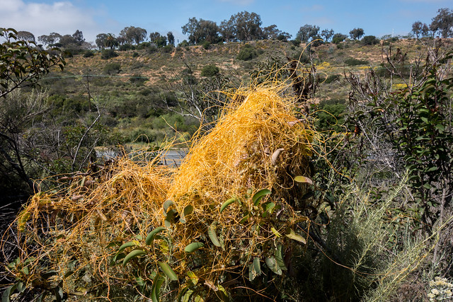 Dodder (Cuscuta california)