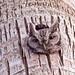 Eastern Screech Owl by Cajunspice