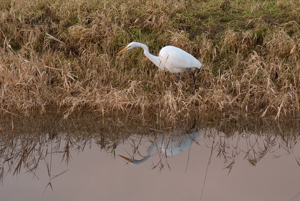 A great egret hunts for bullfrogs in the fading light