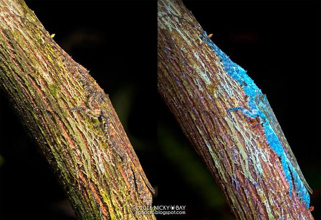 Stick insect (Prisopus sp.) - Prisopus_DSC_7265