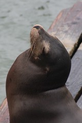 Sea lion Pier 39