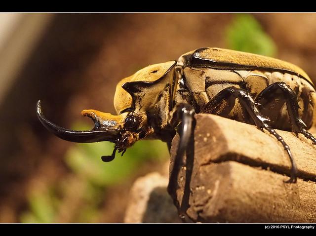 Elephant beetle (Megasoma elephas)