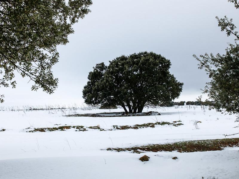 Encina nevada