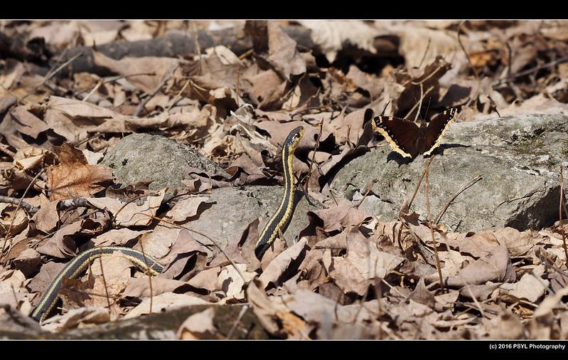 Eastern Garter Snake (Thamnophis sirtalis sirtalis) and Mourning Cloak (Nymphalis antiopa)