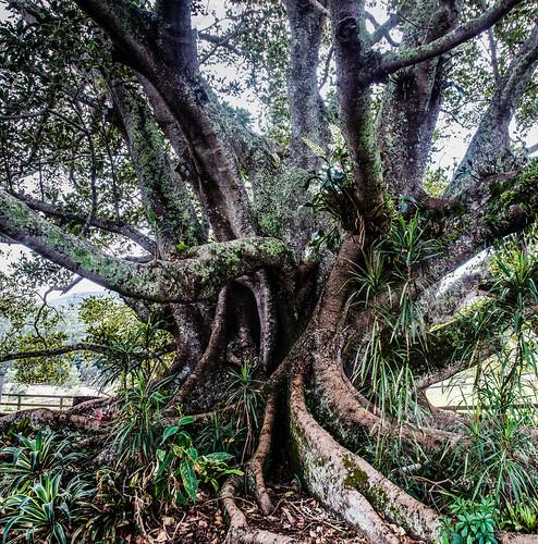 tree nature moss nikon markets newsouthwales mortonbayfig dx ellenborough 18200mm wauchope longflat oxleyhighway ficusmacrophylla d7000