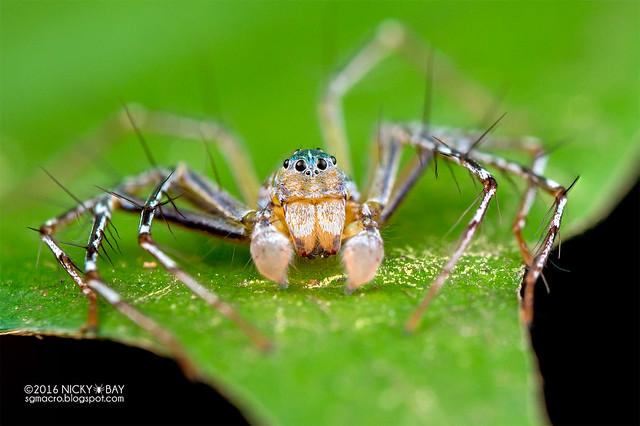 Lynx spider (Hamadruas sp.) - DSC_6034