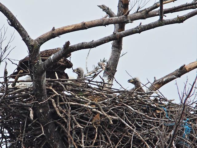 Bald Eagle 2 eaglets 2-20160420