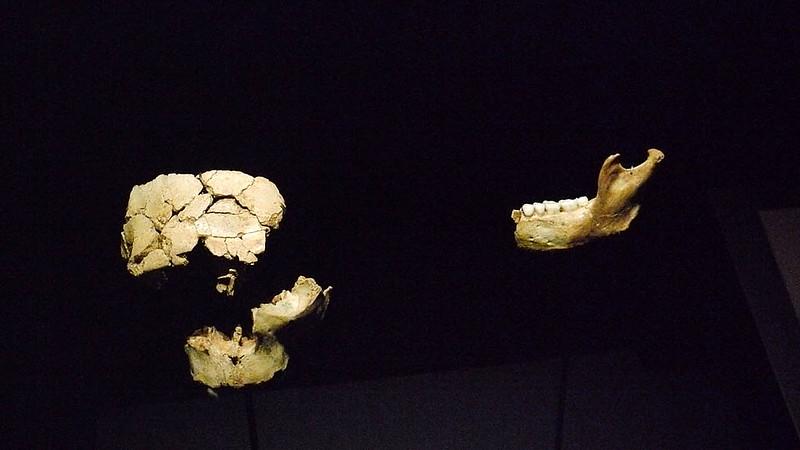 Original remains of Homo antecessor in the Museum of Human Evolution in Burgos