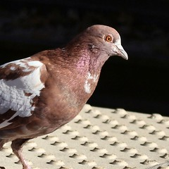#DailyPigeon #UrbanWildlife #Brownie - this is one of the pigeons that will land at my feet when they hear me whistle. #BeastMaster