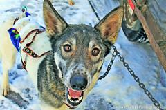 2016 NL 300 Sled Dog Portrait W IMG_2699