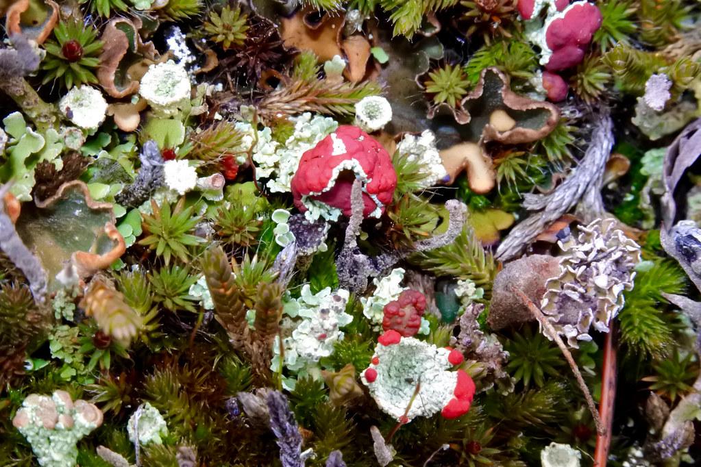 Cup lichen