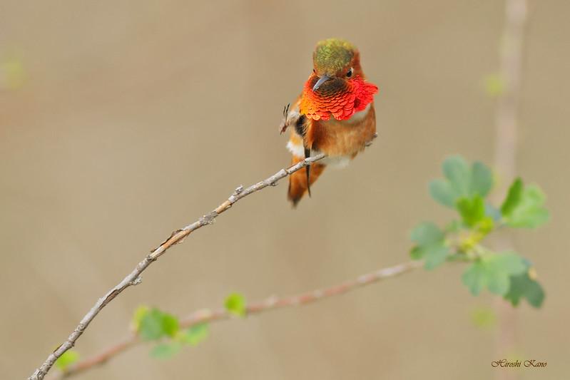 Allen's Hummingbird 2702163