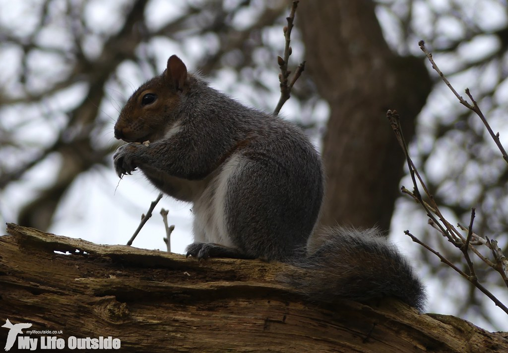 P1000286 - Grey Squirrel, Coed Bach Park