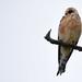 Red-footed falcon (Falco vespertinus) Kék vércse