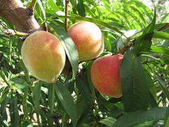starr-150511-1834-Prunus_persica_var_persica-Tropic_Sweet_fruit-Hawea_Pl_Olinda-Maui