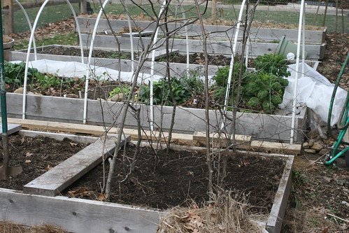 planting peas IMG_5137