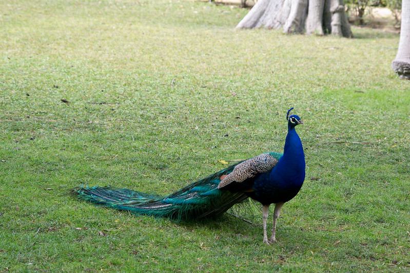 Peacock in the gardens of the Alcazar of Seville, Spain | packmeto.com
