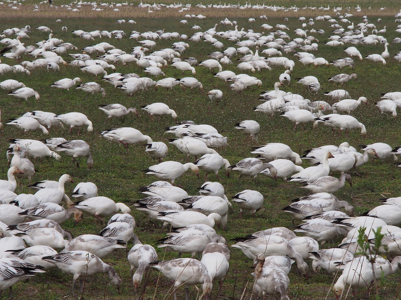 Snow Geese: They hang around here every Winter.