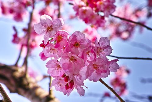 自宅前の桜(陽光)