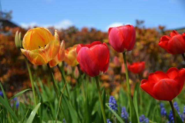 Tulip Time.