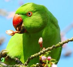 Springtime parakeet