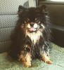 Cordelia the #pomeranian #dog ( day 49 of 365) wet pup, looking cool.