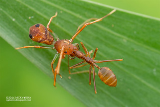 Ant-mimic crab spider (Amyciaea sp.) - DSC_9718