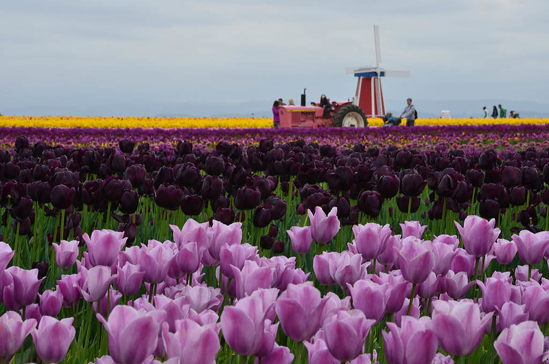 wooden-shoe-tulip-festival-6