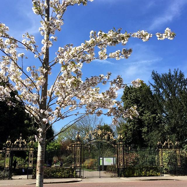 Regent's Park Chester Avenue cherry blossom 2016