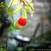 Tomate Cherry - Diaz De Vivar Gustavo