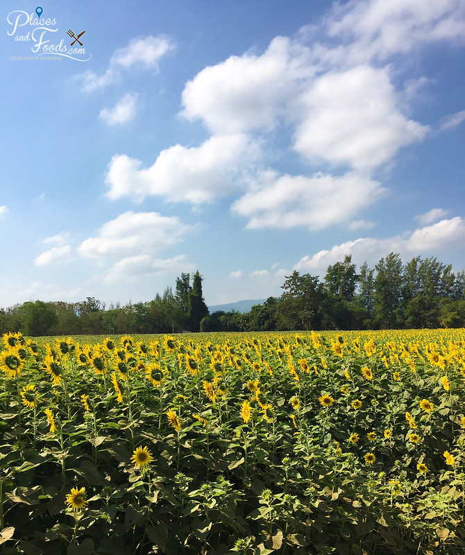 jim thompson sunflower field