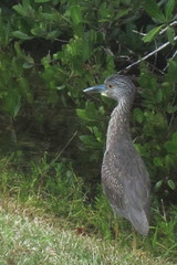 Yellow-crowned Night-Heron, J. N. Ding Darling NWR, FL 1/17/2016