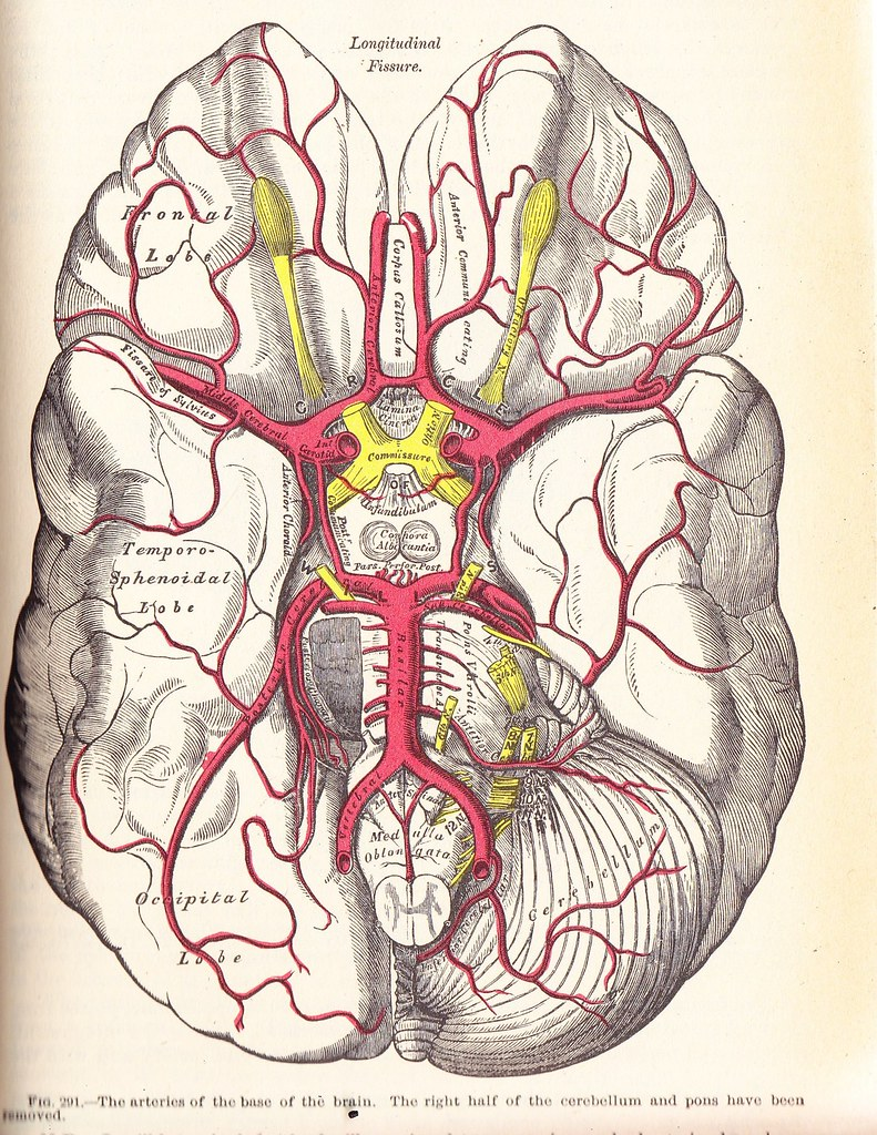 The Arteries At Base Of The Brain Grays Anatomy 1924 Flickr