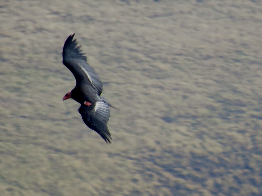 Home for the Holidays: California Condor AC-4 Returns to the Wild After 30 Years