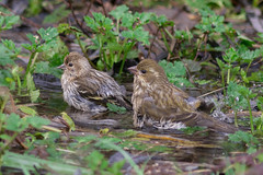 Pine Siskin (Spinus pinus) and Purple Finch (Carpodacus purpureus)