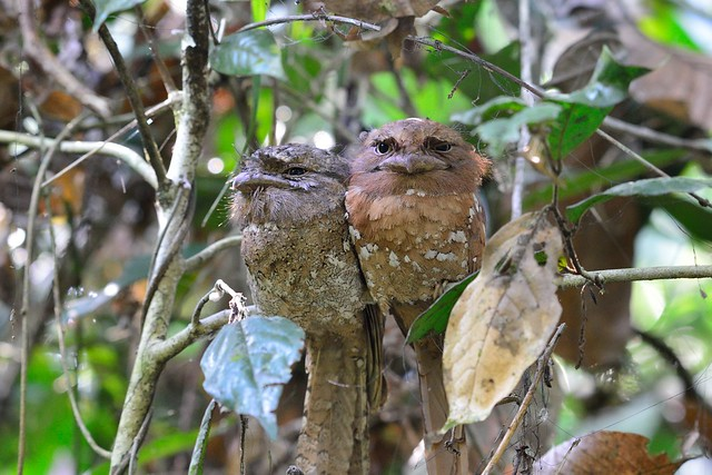 Lankan Frogmouth