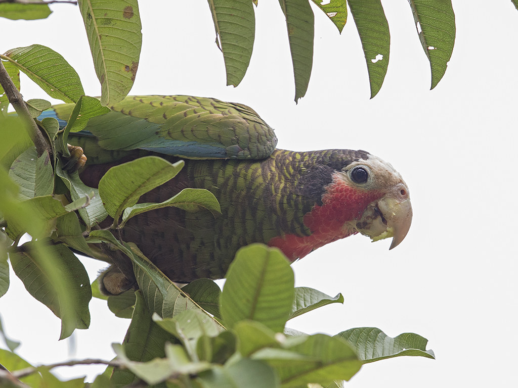 Cuban Parrot 2