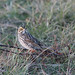Savannah Sparrow - Passerculus sandwichensis - Hamilton County, Ohio, USA - December 17, 2005 by mango verde