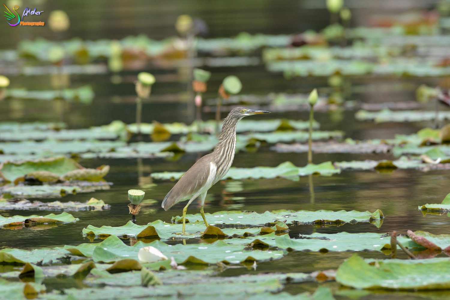Chinese_Pond_Heron_1641