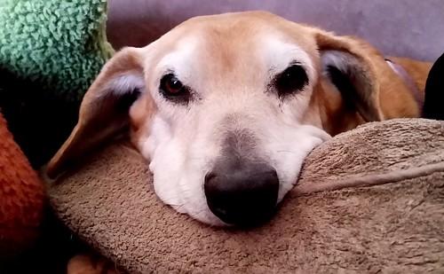 Rainy Day Blues #seniordog #rescueddog #houndmix #LapdogCreations ©LapdogCreations